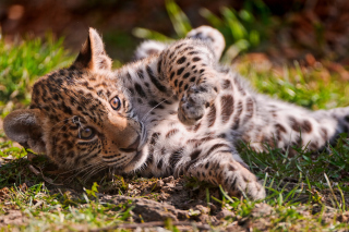 Free Jaguar Cub Picture for 1080x960