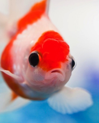 Red And White Fish sfondi gratuiti per iPhone 4S