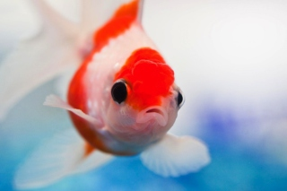 Red And White Fish Background for 1200x1024