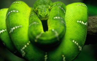 Tree Snake On Branch Wallpaper for Android, iPhone and iPad