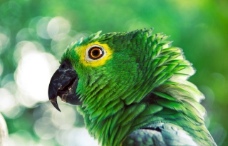 Free Green Parrot Picture for Android, iPhone and iPad