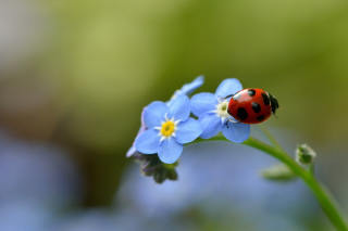 Free Ladybug On Blue Flowers Picture for Android, iPhone and iPad