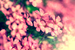 Bush of pink flowers Background for Android, iPhone and iPad