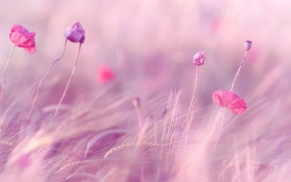 Pink & Purple Flower Field Background for Android, iPhone and iPad