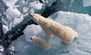 Polar Bears Wallpaper for Android, iPhone and iPad