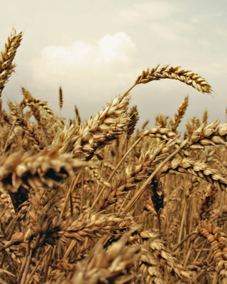 Wheat field sfondi gratuiti per iPhone 6 Plus