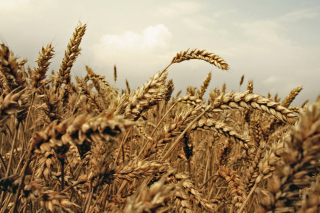 Wheat field Picture for Android, iPhone and iPad