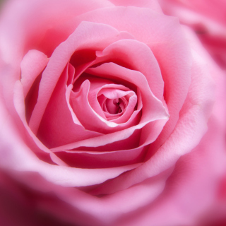 Pink Rose Macro Background for iPad mini 2