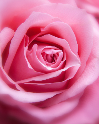 Pink Rose Macro Wallpaper for 640x1136