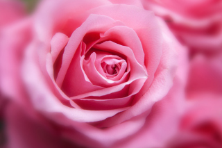 Pink Rose Macro Background for Android, iPhone and iPad