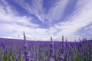 Free Lavender Field Picture for Android, iPhone and iPad