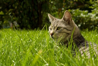 Cat In Grass Background for Android, iPhone and iPad