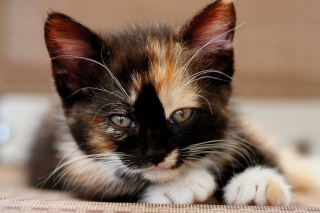 Tricolor Kitten Picture for Android, iPhone and iPad