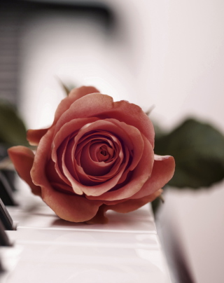 Beautiful Rose On Piano Keyboard - Obrázkek zdarma pro 360x640
