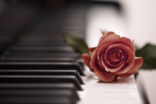 Beautiful Rose On Piano Keyboard Picture for Android, iPhone and iPad