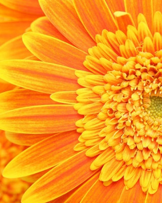 Free Amazing Orange Gerbera Picture for Nokia C1-01