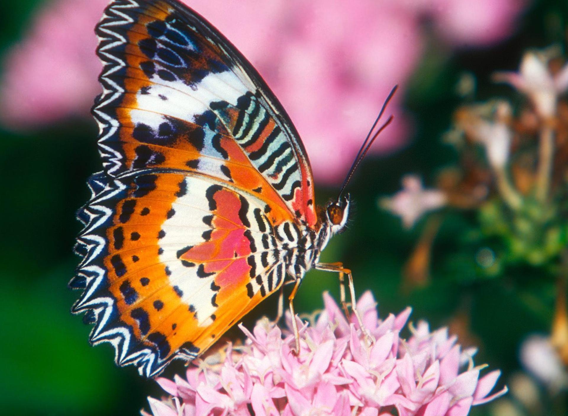 Indahnya Kupu Kupu dengan Bunga Merah Muda