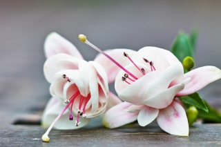 Fuchsia Flower Picture for Android, iPhone and iPad