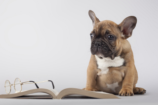 Kostenloses Pug Puppy with Book Wallpaper für Android, iPhone und iPad