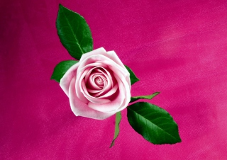 Pink Rose Background for Android, iPhone and iPad