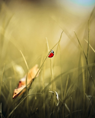 Lady Bug At Meadow Wallpaper for 640x1136