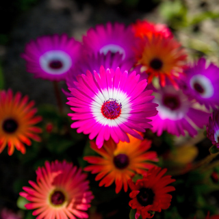 Free Colorful Blossom Picture for 208x208