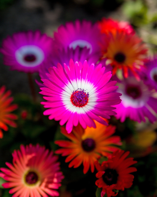 Colorful Blossom Wallpaper for Nokia C1-01