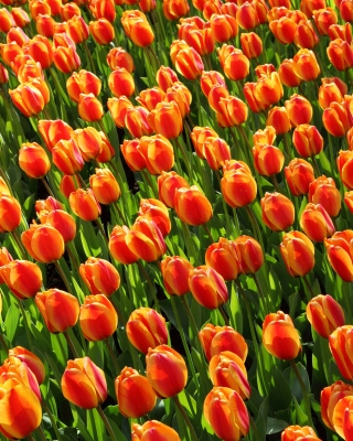 Istanbul Tulip Festival Background for iPhone 5