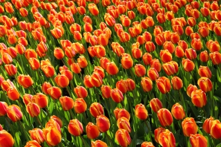 Istanbul Tulip Festival Background for Fullscreen Desktop 1600x1200