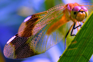 Dragonfly Picture for Android, iPhone and iPad
