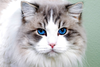 Persian Cat Background for Android, iPhone and iPad