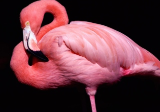 Pink Flamingo Posing Background for Android, iPhone and iPad