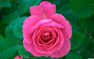 Bright Pink Rose sfondi gratuiti per cellulari Android, iPhone, iPad e desktop