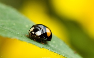 Обои Yellow Ladybug On Green Leaf на Android 1280x960