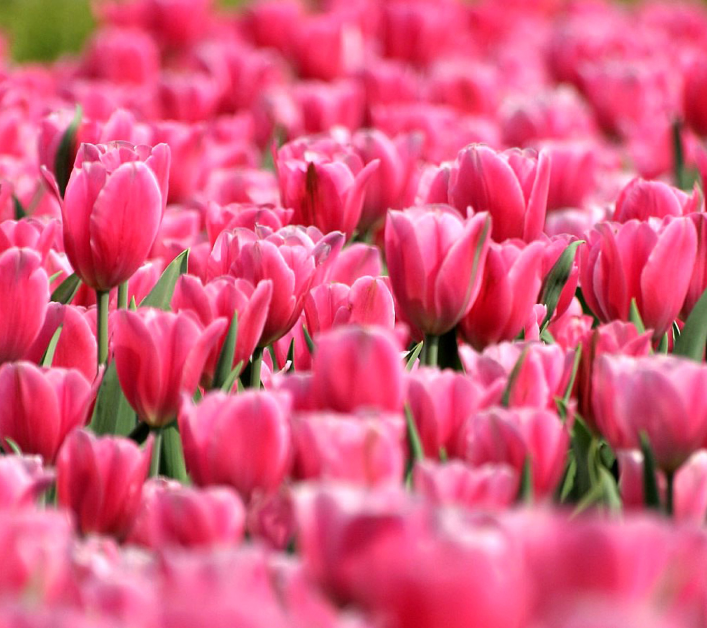 Screenshot №1 pro téma Pink Tulips in Holland Festival 1440x1280