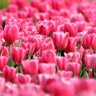 Pink Tulips in Holland Festival Background for iPad 3