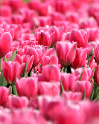 Pink Tulips in Holland Festival Wallpaper for Nokia C1-01