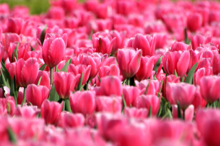 Pink Tulips in Holland Festival Wallpaper for Android, iPhone and iPad