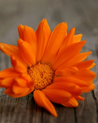 Orange Flower Macro Wallpaper for Nokia C1-01