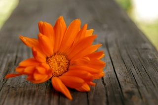 Orange Flower Macro Background for Android, iPhone and iPad