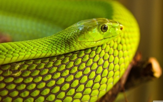 Green Snake Macro Wallpaper for Android, iPhone and iPad