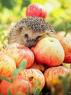 Screenshot №1 pro téma Hedgehog Loves Apples 240x320