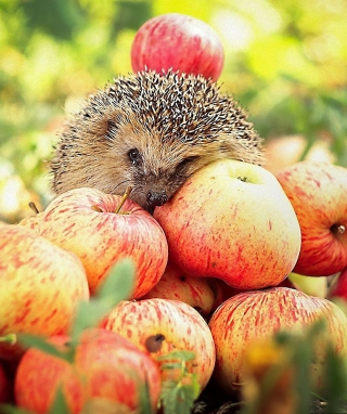 Hedgehog Loves Apples papel de parede para celular para Nokia C2-05