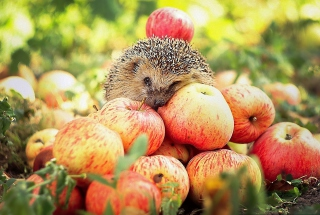 Hedgehog Loves Apples Background for Android, iPhone and iPad