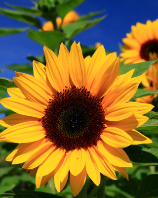 Sunflower close-up - Fondos de pantalla gratis para 320x480