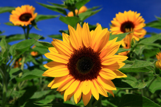 Free Sunflower close-up Picture for Android, iPhone and iPad