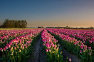 Netherland Tulips Flowers Background for Android, iPhone and iPad