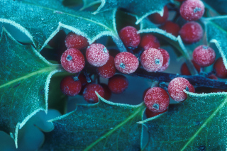 Frosted Holly Berries Wallpaper for Android, iPhone and iPad