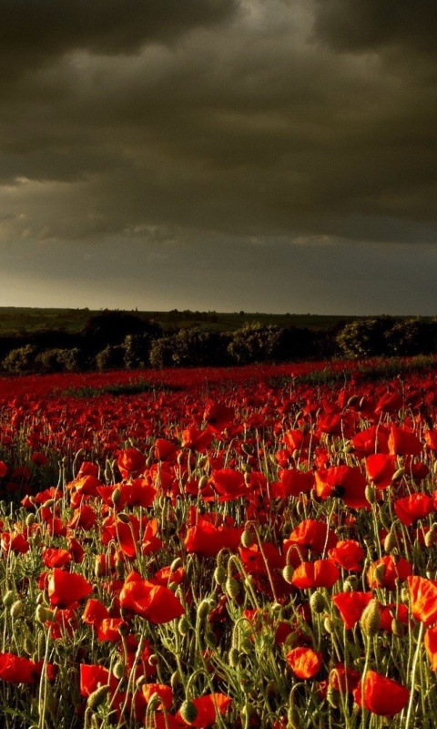 Sfondi Poppy Field Farm 480x800
