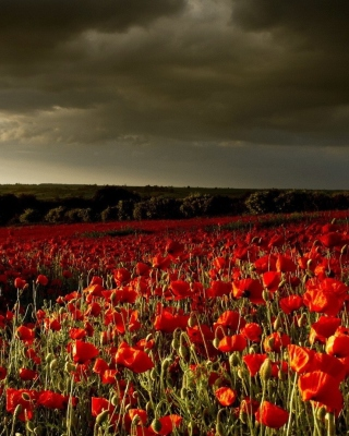 Poppy Field Farm Wallpaper for Nokia Asha 306